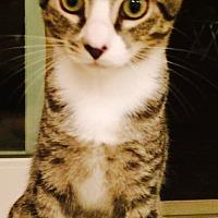 Domestic Shorthair Kitten for adoption in Marlton, New Jersey - Zinny