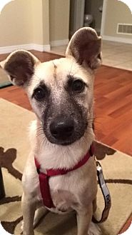 Terrier (Unknown Type, Small)/Shepherd (Unknown Type) Mix Puppy for adoption in Hanover, Ontario - Cleo
