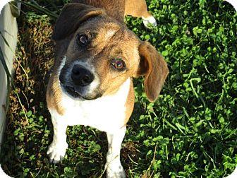 Beagle Mix Dog for adoption in Liberty Center, Ohio - Meggie