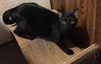Domestic Shorthair Cat for adoption in Sedalia, Missouri - Gustav