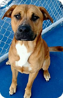 Pit Bull Terrier/Labrador Retriever Mix Dog for adoption in New Kent, Virginia - Tyson