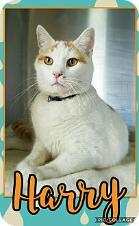 Domestic Shorthair Cat for adoption in Edwards AFB, California - Harry