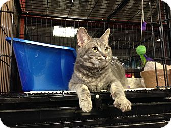 Domestic Shorthair Cat for adoption in Baltimore, Maryland - Henry