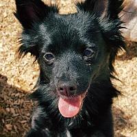 Adopt A Pet :: Simon - Elizabethtown, PA