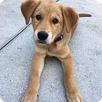 Adopt A Pet :: GiGi - Ormond Beach, FL