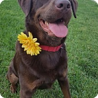 Adopt A Pet :: Lucy May - Torrance, CA