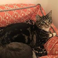 Adopt A Pet :: Curious George - Winchester, VA
