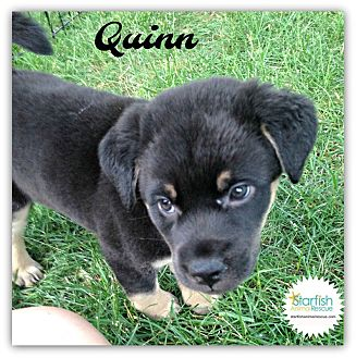 Shepherd (Unknown Type)/Terrier (Unknown Type, Medium) Mix Puppy for adoption in Plainfield, Illinois - Quinn