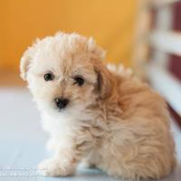 Adopt A Pet :: Puffball - Eugene, OR