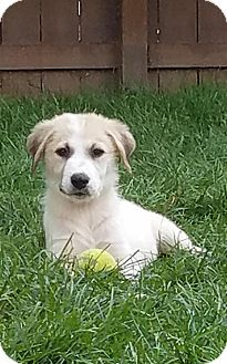 St. Bernard/Great Pyrenees Mix Puppy for adoption in Denver, Colorado - Zihna