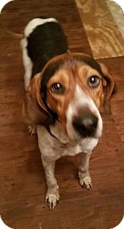 Hound (Unknown Type) Dog for adoption in Newport, Kentucky - Trit