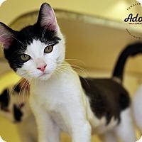 Adopt A Pet :: Kittens! - Lyons, NY