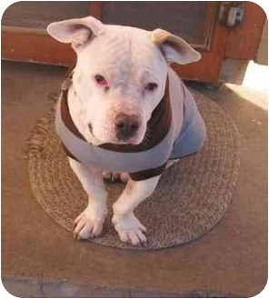 American Pit Bull Terrier Dog for adoption in All of Colorado, Colorado - Baby