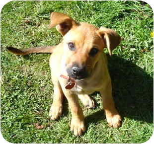 Shepherd (Unknown Type) Mix Puppy for adoption in Portland, Oregon - Cha Cha
