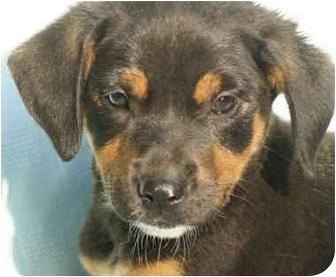 Hound (Unknown Type) Mix Puppy for adoption in Harrisonburg, Virginia - Jackie