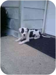 American Pit Bull Terrier Mix Puppy for adoption in Plainfield, Illinois - Izzy