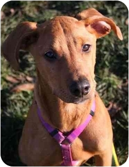 Doberman Pinscher/American Pit Bull Terrier Mix Puppy for adoption in Phoenix, Oregon - Lizzy