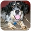 Photo 3 - English Setter/Australian Shepherd Mix Dog for adoption in Latrobe, Pennsylvania - Loraine