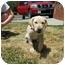 Photo 3 - Labrador Retriever Mix Puppy for adoption in Cumming, Georgia - Nubbles