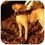 Photo 1 - Labrador Retriever/Rhodesian Ridgeback Mix Dog for adoption in Windham, New Hampshire - Chole