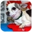 Photo 2 - Chihuahua/Chihuahua Mix Puppy for adoption in Broomfield, Colorado - Drummer Boy