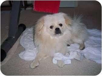 Pekingese Mix Dog for adoption in Virginia Beach, Virginia - Peke