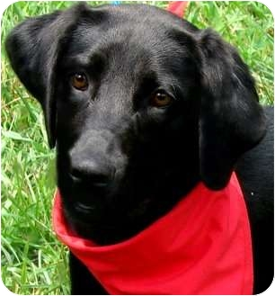 Labrador Retriever Puppy for adoption in Pawling, New York - BONNIE(GORGEOUS PUPPY)