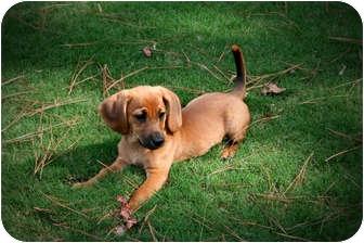 Dachshund Mix Puppy for adoption in Cumming, Georgia - EllieMae