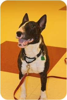 Bull Terrier Dog for adoption in Columbia Station, Ohio - Meatball