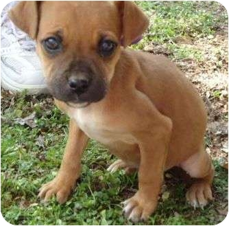 Boxer/Labrador Retriever Mix Puppy for adoption in Hagerstown, Maryland - Juno