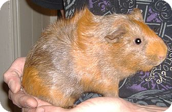 Guinea Pig for adoption in Clinton, Missouri - Chase