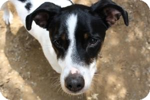 Fox Terrier (Smooth)/Terrier (Unknown Type, Small) Mix Dog for adoption in Fennville, Michigan - Tanner