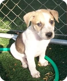 Labrador Retriever/Husky Mix Puppy for adoption in Tustin, California - Charlie