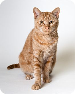 Domestic Shorthair Cat for adoption in Rockaway, New Jersey - Marmelade