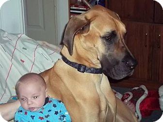 Great Dane Dog for adoption in Treton, Ontario - Duke