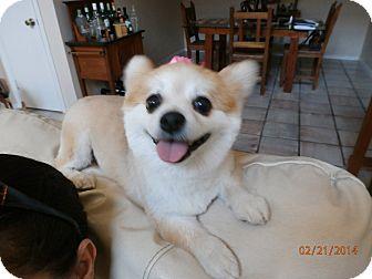 Pomeranian Dog for adoption in Davie, Florida - Sushi