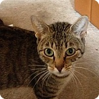Domestic Shorthair Kitten for adoption in New York, New York - Suli