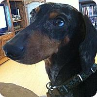 Adopt A Pet :: Duke - NJ - Jacobus, PA