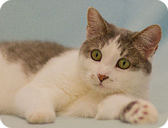 Domestic Shorthair Cat for adoption in Washburn, Wisconsin - Jake