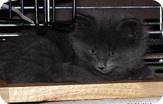 Domestic Mediumhair Kitten for adoption in Chandler, Arizona - Silver