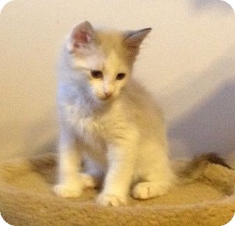 Domestic Shorthair Kitten for adoption in Fountain Hills, Arizona - ELMER