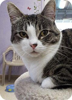 Domestic Shorthair Cat for adoption in Grants Pass, Oregon - Patches