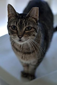 Domestic Shorthair Cat for adoption in Chicago, Illinois - Mia