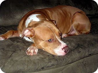 American Staffordshire Terrier Dog for adoption in Seahurst, Washington - Henry