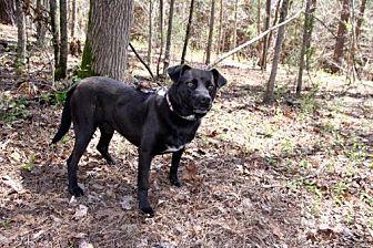 Labrador Retriever/Pit Bull Terrier Mix Dog for adoption in York, South Carolina - Alder