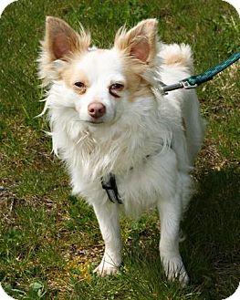 Pomeranian/Chihuahua Mix Dog for adoption in Bellingham, Washington - Elvis