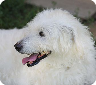 Labrador Retriever/Poodle (Standard) Mix Dog for adoption in Newtown, Connecticut - Princess