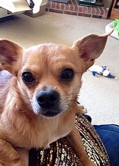 Chihuahua/Pomeranian Mix Dog for adoption in Plano, Texas - Cowboy