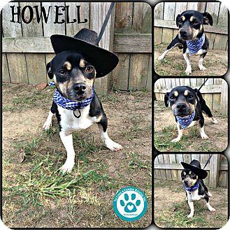 Chihuahua Mix Dog for adoption in Kimberton, Pennsylvania - Howell