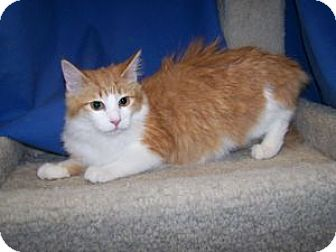 Domestic Mediumhair Kitten for adoption in Colorado Springs, Colorado - K-Apple5-Sallee